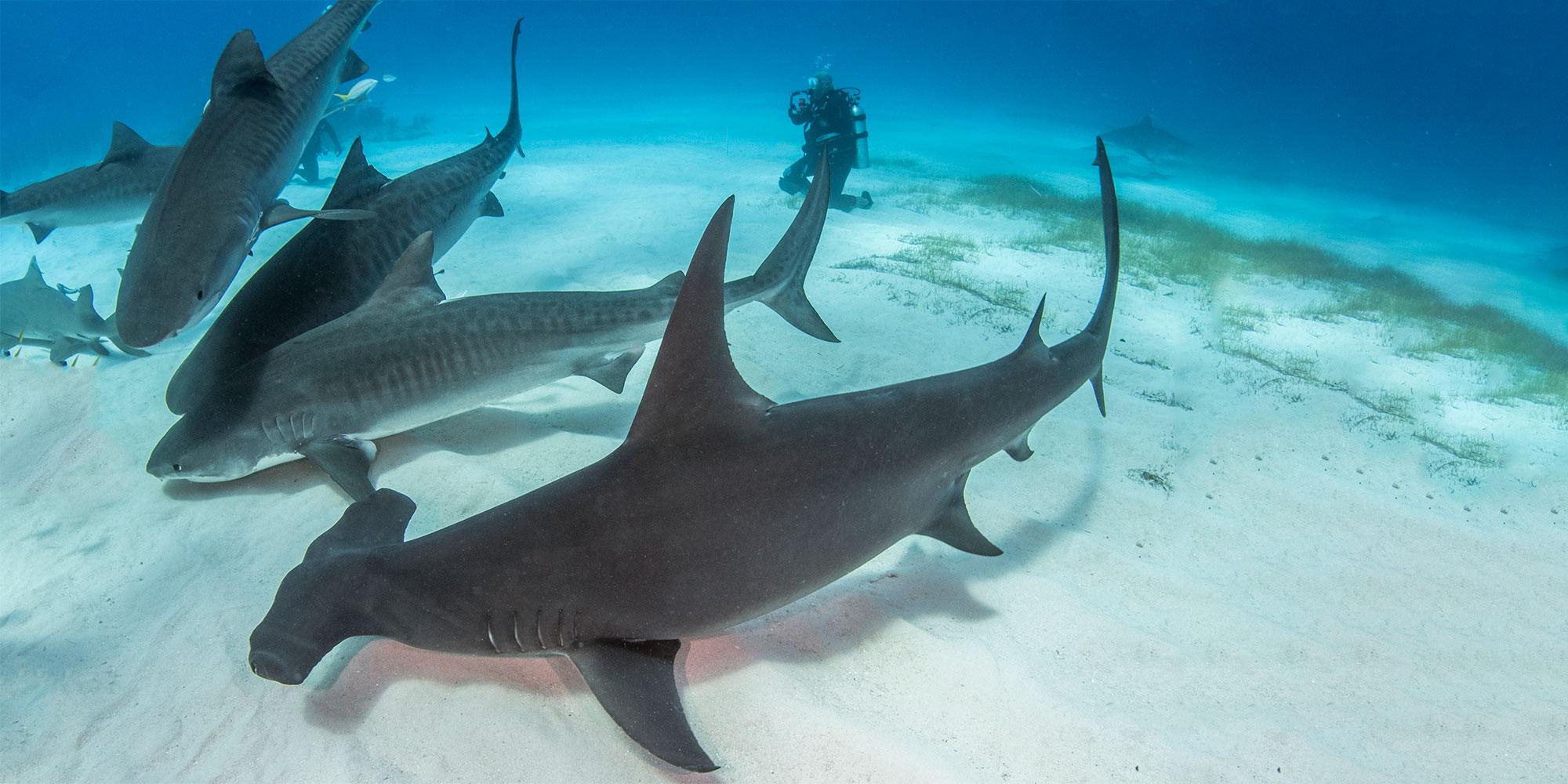 Diving Bersama Hiu Di Pulau Bimini